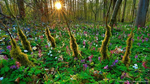 Zauberwald mit Lerchensporn