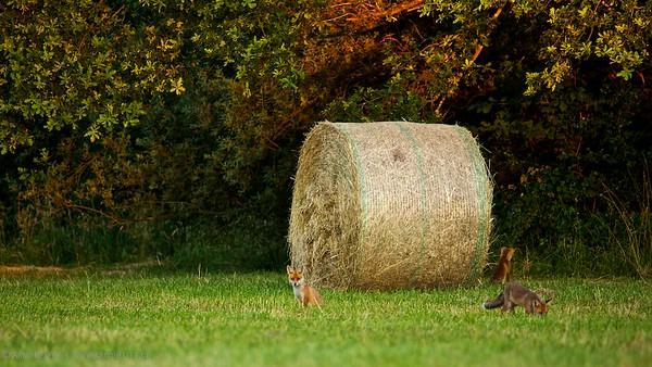3 junge Rotfüchse (Vulpes vulpes)