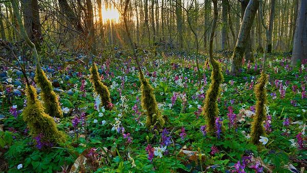 Zauberwald mit Moos und Lerchensporn