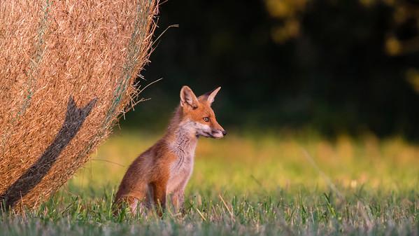 Fuchsnachwuchs (Vulpes vulpes) in der Abendsonne