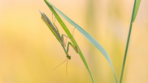 Gottesanbeterin (Mantis religiosa) im herbstlichen Trockenrasen